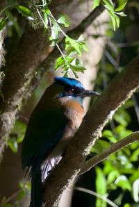 A Mot Mot sits in a tree at the Bajo Del Tigre in Monteverde, Costa Rica on Jan 6, 2013.  The Mot Mot is a common bird seen within the Children's Eternal Rainforest. (Kyle Cardine/Missouri School of Journalism)