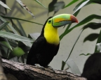 While their hummingbird counterparts move to higher altitudes, the keel-billed toucan has also had this tendency. Both birds continuously seek an ideal climate.
