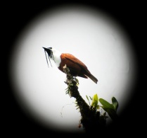 The three-wattled bellbird is spotted through a scope high in the tree tops. Photo via Flicker/ ryankozi