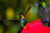 The fiery-throated hummingbird has been traveling upslope for years, possibly as a result of climate change.