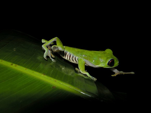 A red-eyed tree frog steps boldly toward the unknown. (Image courtesy of Frank Vassen via Flikr and used through this license: https://creativecommons.org/licenses/by/2.0/ )