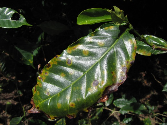 Suffering the depredations of coffee rust, a plant on Oldemar Salazar Picado's coffee farm looks considerably worse for wear.
