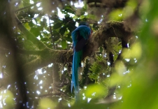 A quetzal rests in a tree in the Monteverde Cloud Forest Reserve Sunday, January 4, 2014 in Monteverde, Costa Rica. Quetzals are found in cloud forests throughout Central America, but are an endangered species, making sightings all the more rare. The quetzal was a sacred animal to the Aztecs and Mayans. Its name originates from the Aztec word 'quetzalli', meaning beautiful.