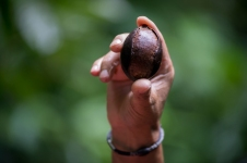 "A sapote seed, whose names derives from the Aztec word ""tzapotl"", is held up by Victor in the Monteverde Cloud Forest Reserve as he describes the cyanide present in unripe seeds."