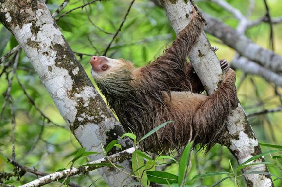 800px-Flickr_-_ggallice_-_Two-toed_sloth