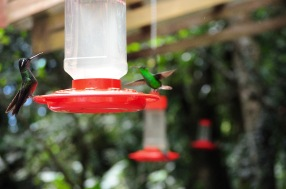 "Hanging from the trees and buildings in the exhibit are 10 feeders to attract hummingbirds into this area. ""These hummingbirds are wild. They come and go many times throughout the day,"" said Mendez. Photo by McGuire McManus"
