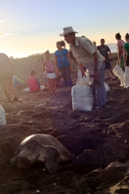 An group of workers from the Ostional Integrated Development Association, ADIO, fills sacks with eggs from an olive ridley sea turtle arribada on Playa Ostional on Friday. The workers harvest the sea turtle eggs from within a carefully defined area to make sure that they only harvest less than 1 percent of the eggs laid.