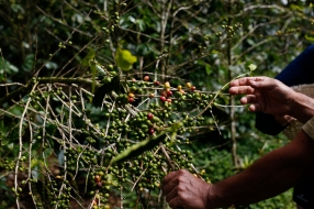 Oldemar Salazar Picado pulls down a coffee plant to point out the color of ripe cherries. Salazar used a plant barren of leaves from Roya, a fungus that attacks the coffee plants, to demonstrate since it was easier to see. Photo by Nadav Soroker.